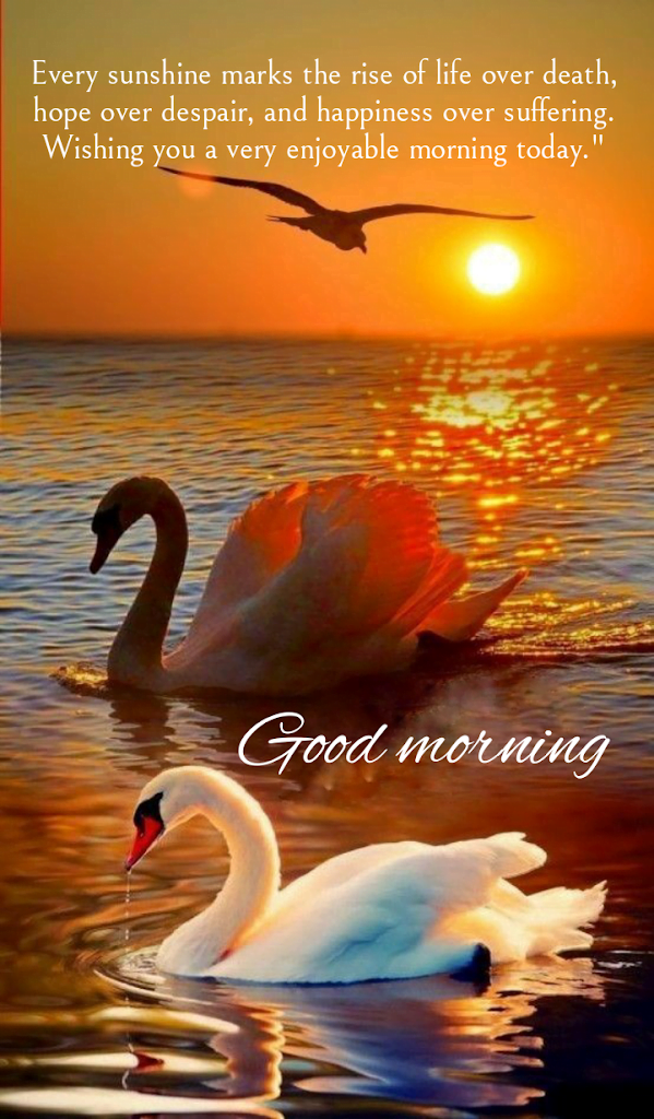 Two swans swimming in water, Good morning best quotes.